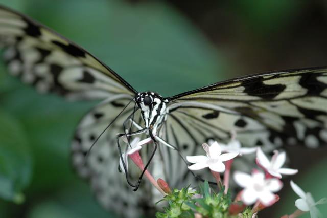Le festin du papillon