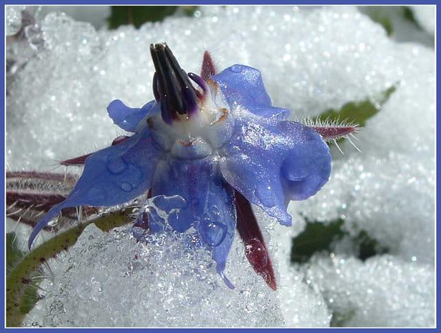Le fleur glacée...