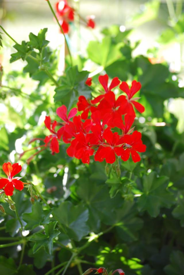 Le géranium rouge