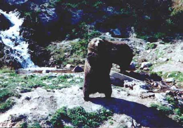 Le grizzly se dresse