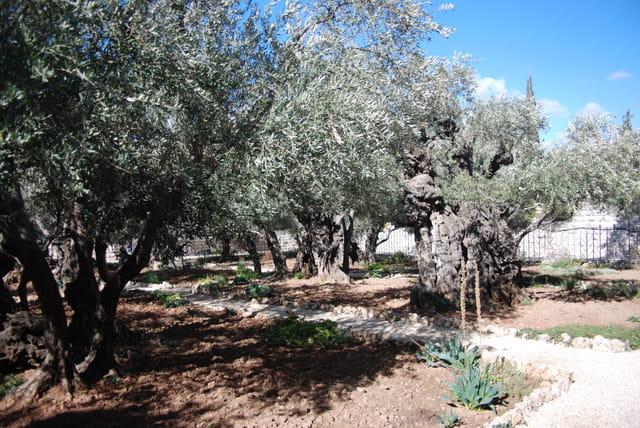 le jardin des Oliviers de Gethsémanie