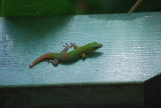 le lézard vert ou Phelsuma de La Réunion
