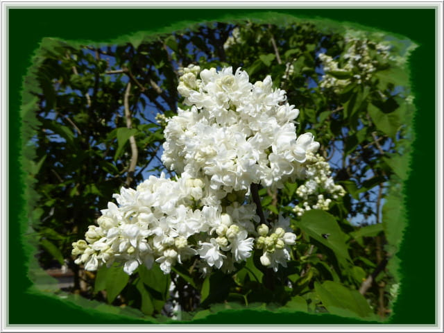 Le lilas blanc est de retour dans le jardin
