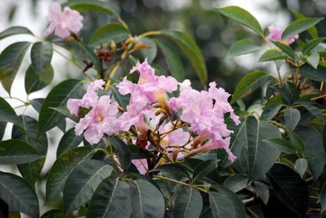 Le lilas des indes par genevieve lapoux sur l 39 internaute - Le lilas des indes ...