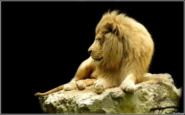 Le Lion Blanc Par Michel Chantelas Sur L Internaute