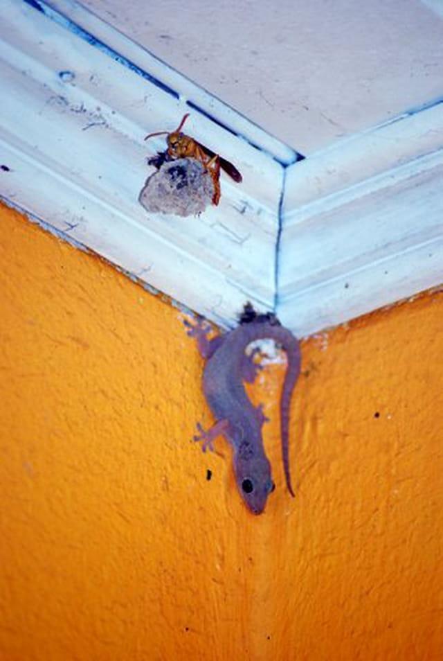 le margouillat et l'abeille
