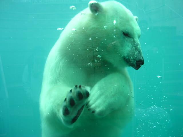 Le mondial d'apnée des ours