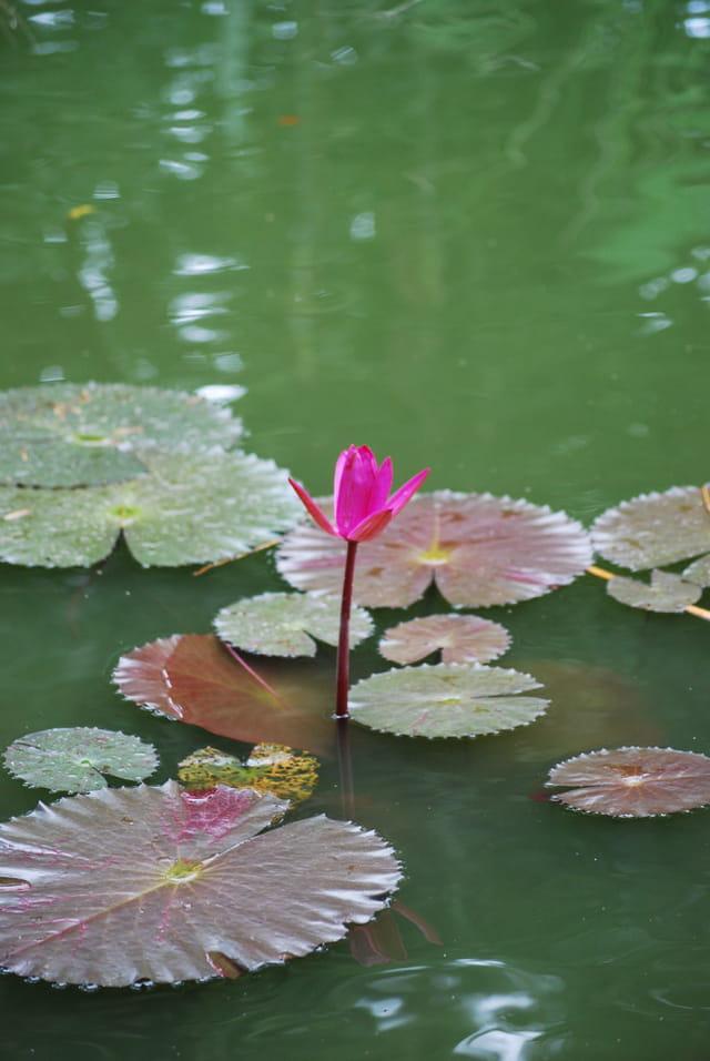 Le nénuphar rose