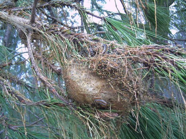 Le nid de chenilles