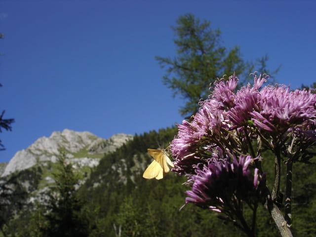 Le papillon des pas d'âne