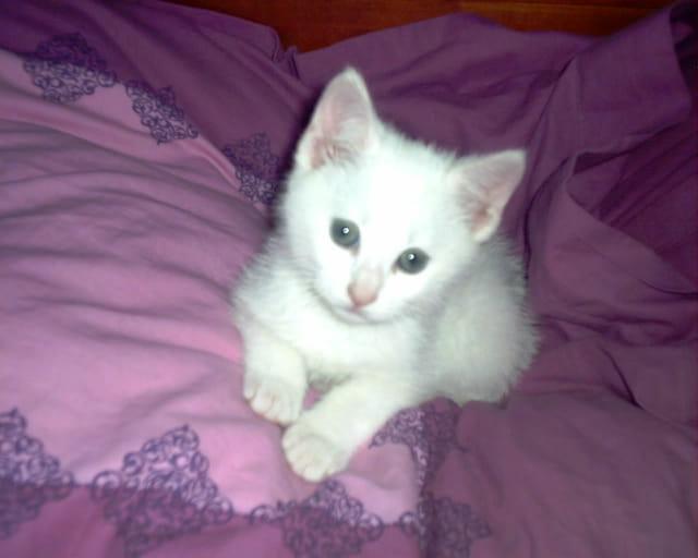 Le petit chat blanc