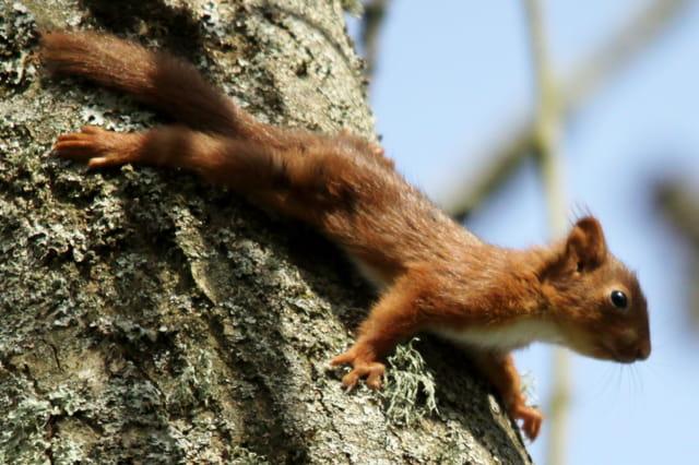 le petit ecureuil se promene
