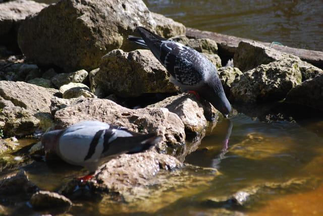 le pigeon a soif