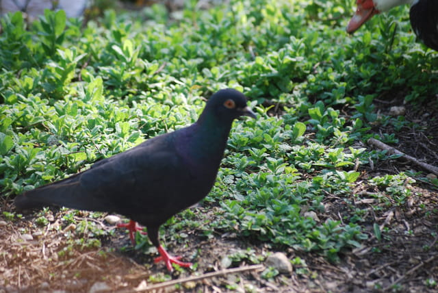 le pigeon aux pattes rouges