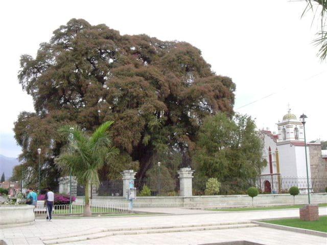 Le plus vieille arbre du monde ?