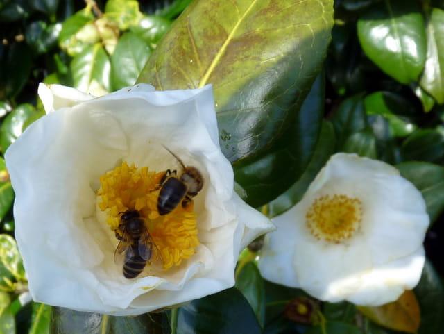 Le pollen des camélias est très prisé