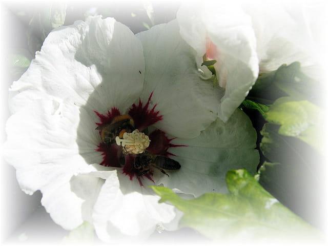 Le pollen des hibiscus est excellent