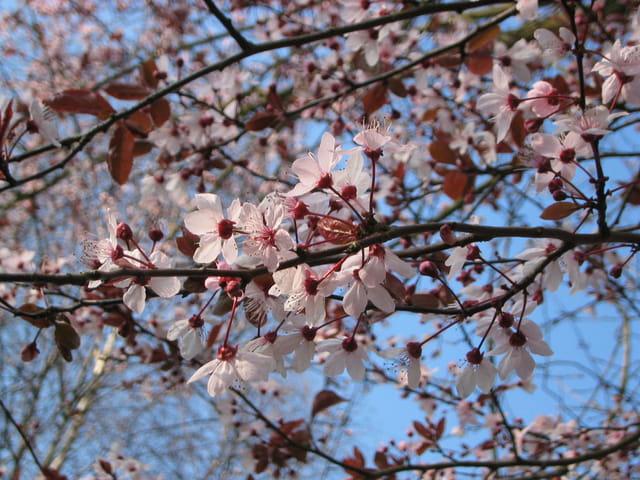 Le printemps du prunus