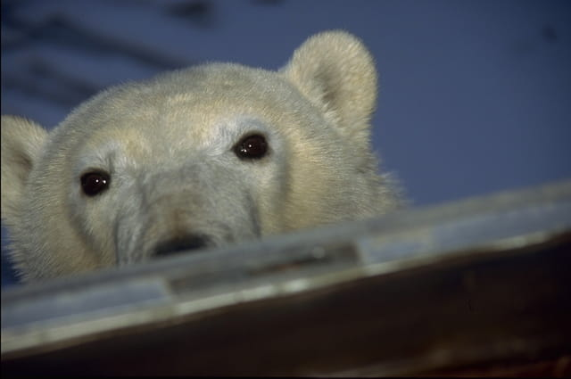 Le regard d'un ourson