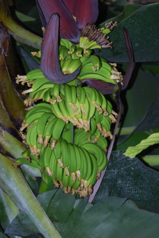 Le régime de bananes