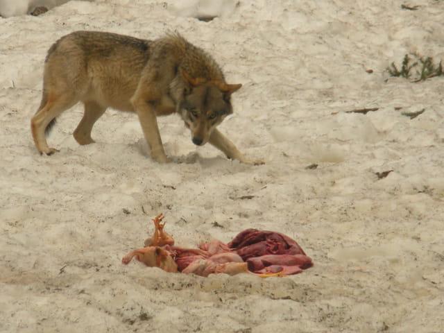 Le repas des loups
