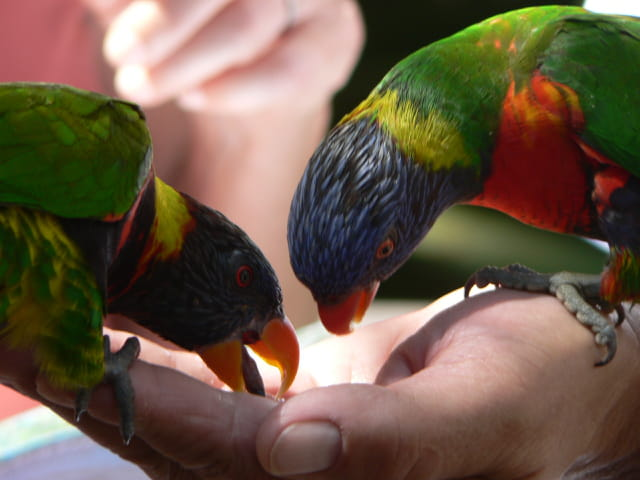 Le repas des perroquets