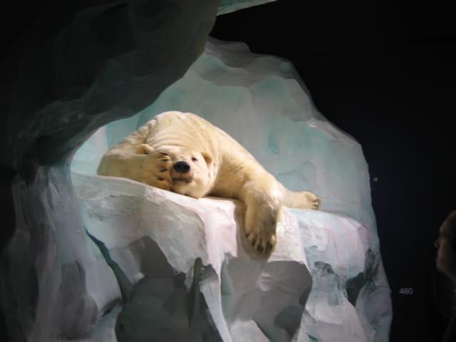 Le repos de l'ours blanc