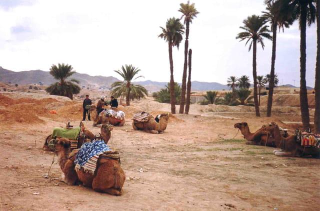 Le repos des chameaux