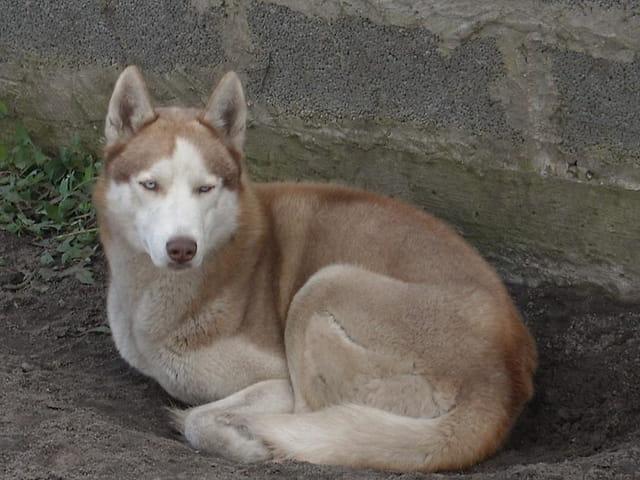 Le repos du husky sibérien