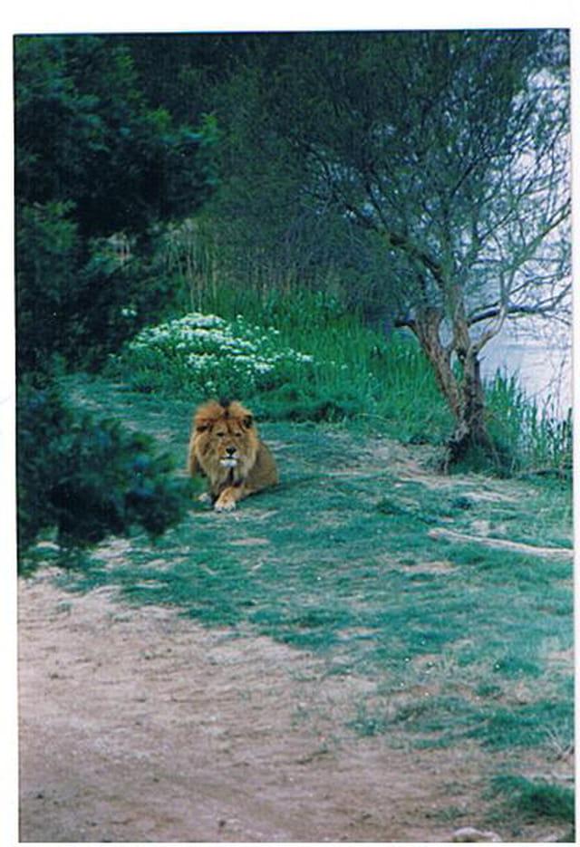 Le repos du lion
