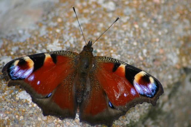 Le repos du papillon