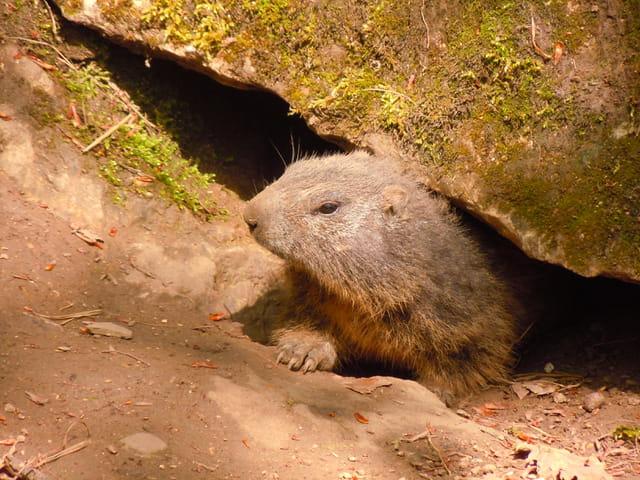 Le réveil de la marmotte