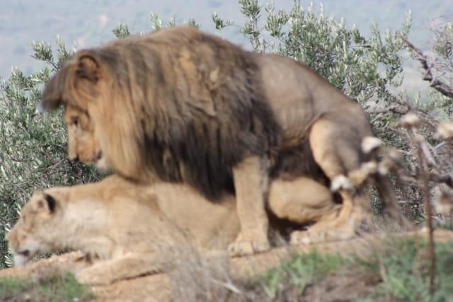 Le roi lion par jean paul cros sur l 39 internaute - Voir le roi lion ...
