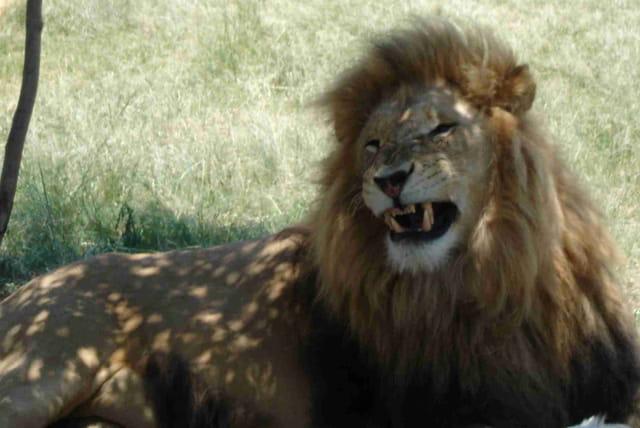 Le roi lion par milie pothain sur l 39 internaute - Voir le roi lion ...