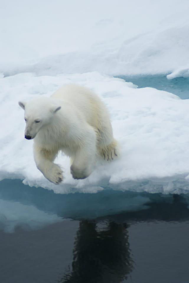 Le saut de l'ours blanc
