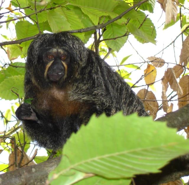 Le singe saki et sa feuille