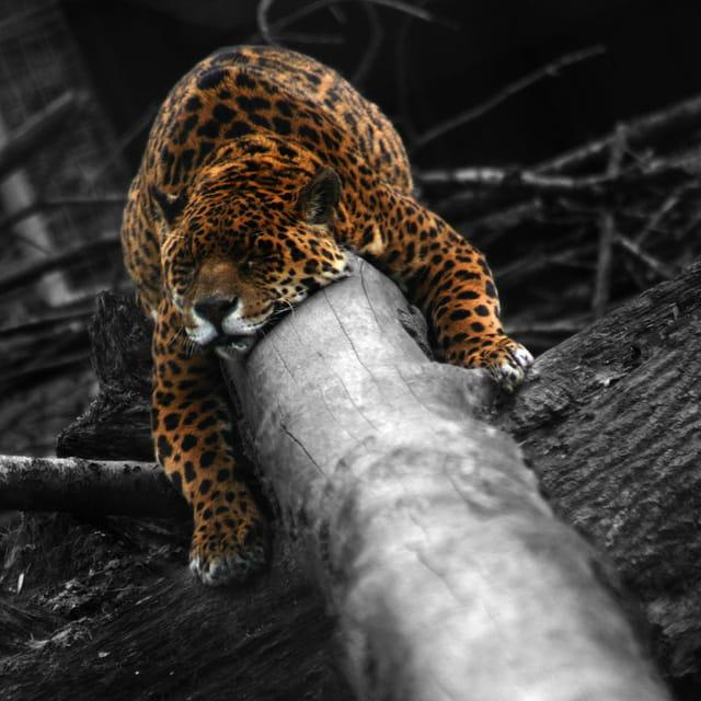 Le Sommeil du Jaguar