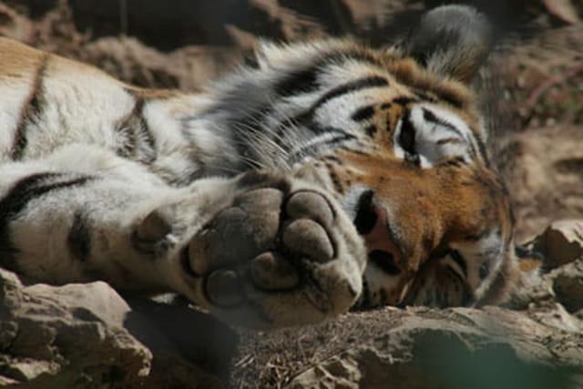 Le sommeil du tigre