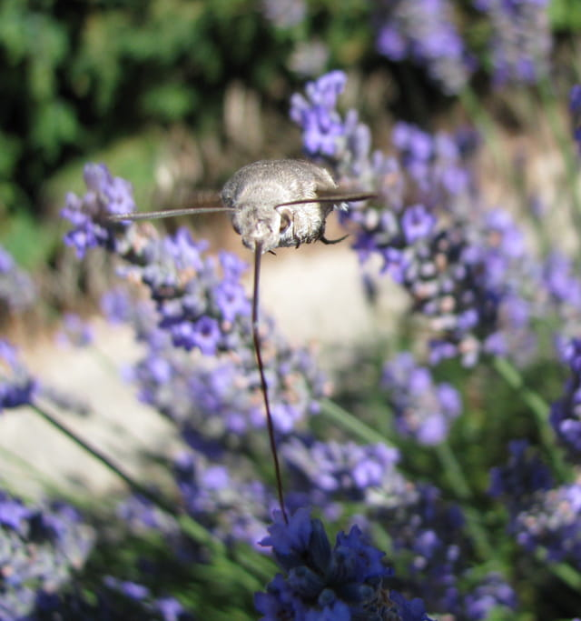 Le sphinx colibri butine