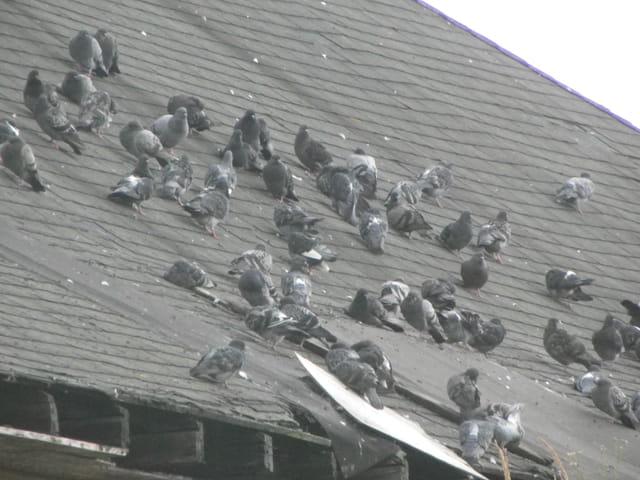 Le toit aux pigeons