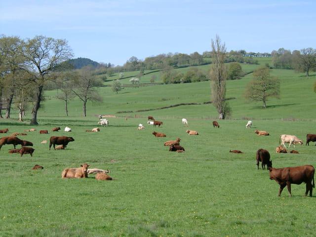 Le troupeau au repos