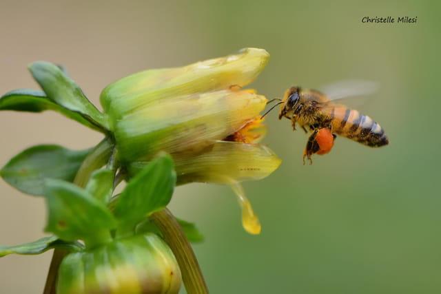 Le vol de l'abeille
