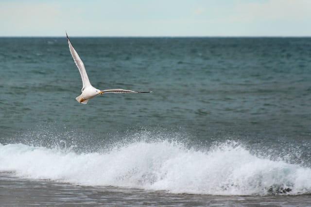 Le vol du goéland