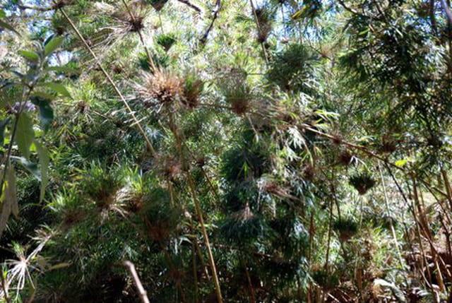 les bambous calumets ou Nastus Borbonicus