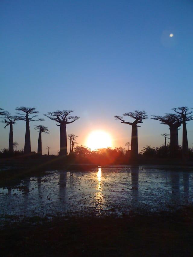 Les baobabs de Madagascar au coucher de soleil