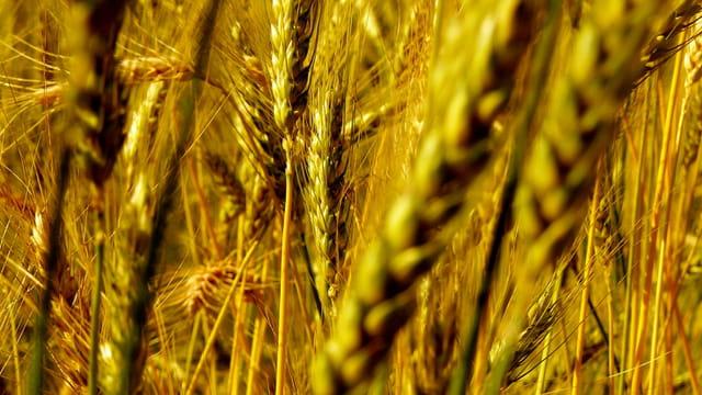 Les blés de Christian....