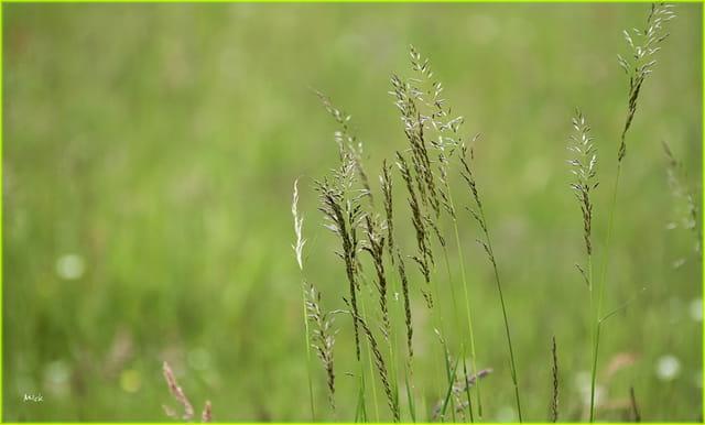 les brins d'herbe