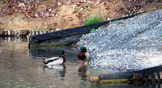 les canards au bord de l'eau