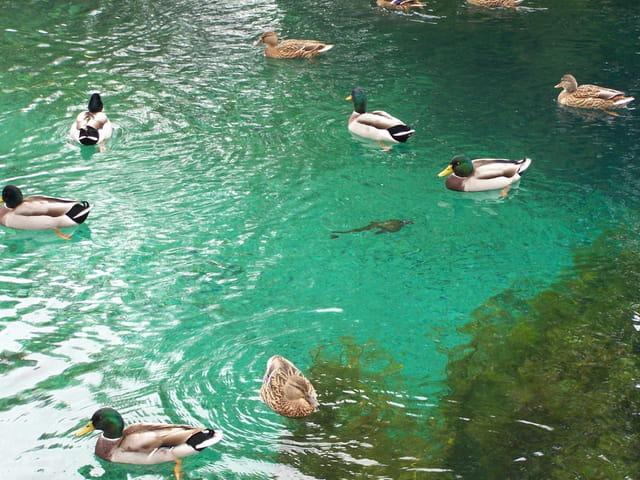 Les canards du creux  bleu