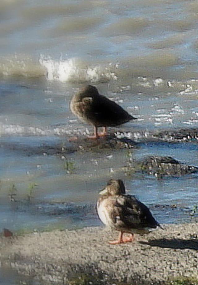 Les canards près du fleuve